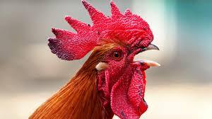 Non sopporta il canto del gallo e accoltella il padrone: arrestato ad Acireale