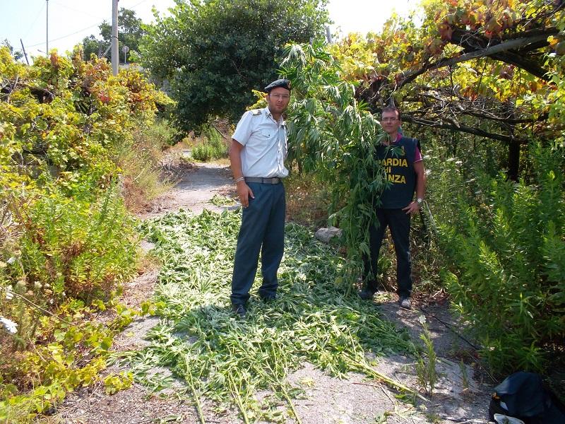 Droga, oltre 300 piante di marijuana nascoste in un terreno nel Calabrese