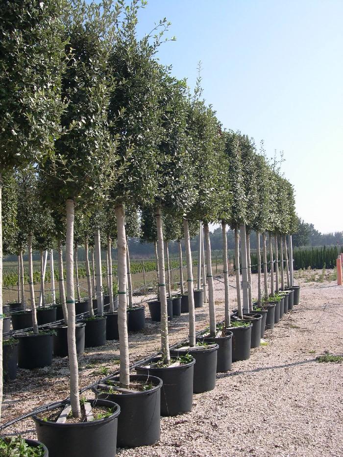 Il bosco delle Troiane a Siracusa, 1000 piante di leccio a Scala Greca