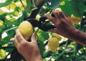 Avola, sopreso in flagranza di furto di limoni: viene arrestato