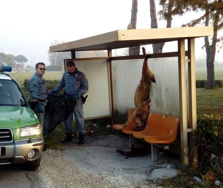 Uccisero un lupo e lo appesero alla fermata del bus, 2 denunce