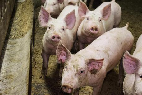Palermo, vende maiali sequestrati: a giudizio per simulazione di reato