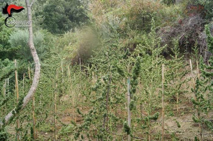 Scoperta una piantagione di marijuana in provincia di Reggio Calabria