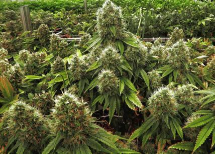 Palermo, gli trovano in casa mezzo chilo di marijuana: arrestato