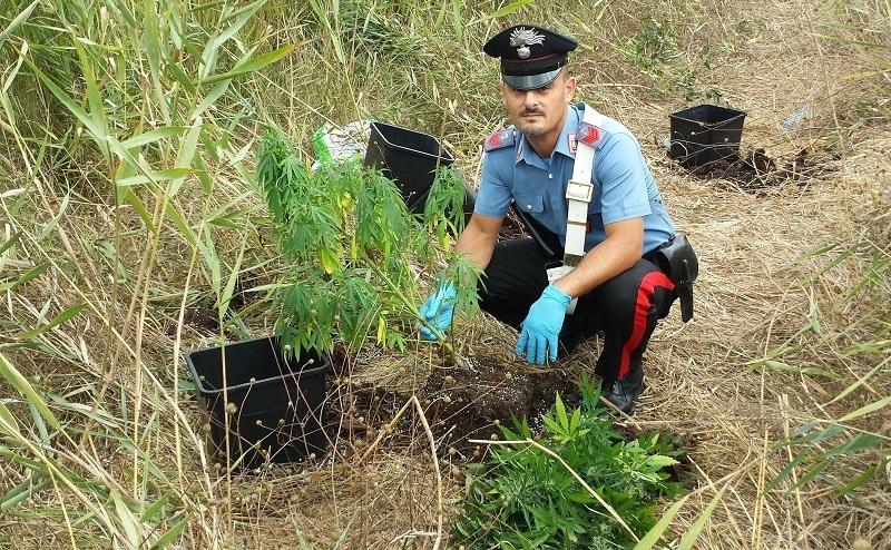 Armi e serra di marijuana in casa: un arresto nel Cosentino