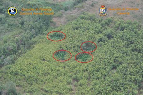 Piantagione di marijuana scoperta da un aereo nel Casertano