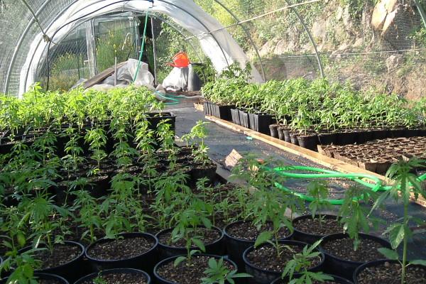 Droga: una serra di marijuana in garage, coniugi arrestati nel Barese