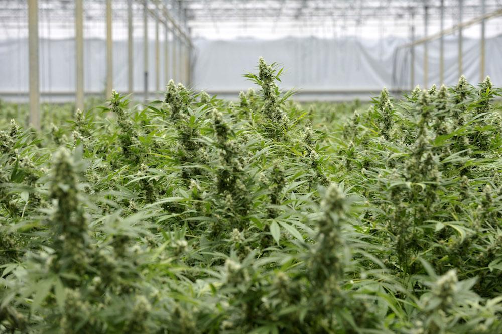 """Una """"serra"""" di marijuana nel retro di un market a Lentini, un arresto"""