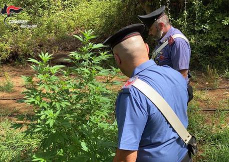 Melicucco, piantagione di droga tra i rovi: arrestati zio e nipote