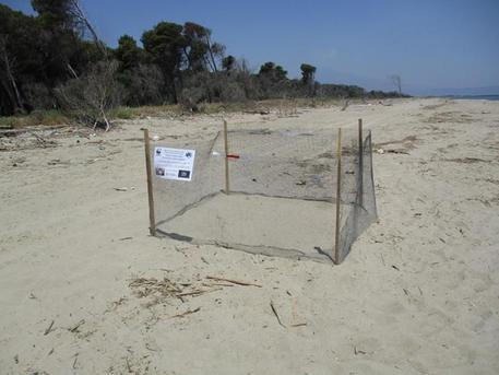 Due nidi di tartaruga marina 'Caretta caretta' all'Oasi del Simeto
