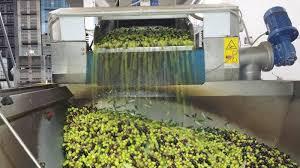 Chiude 2 mesi prima la campagna olivicola: al Sud - 90%