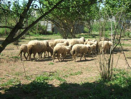 Controlli sanitari in un ovile di Lentini: lavoravano senza autorizzazioni
