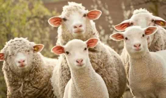 Paternò, scoperto ovile illegale con 815 capi di bestiame clandestino
