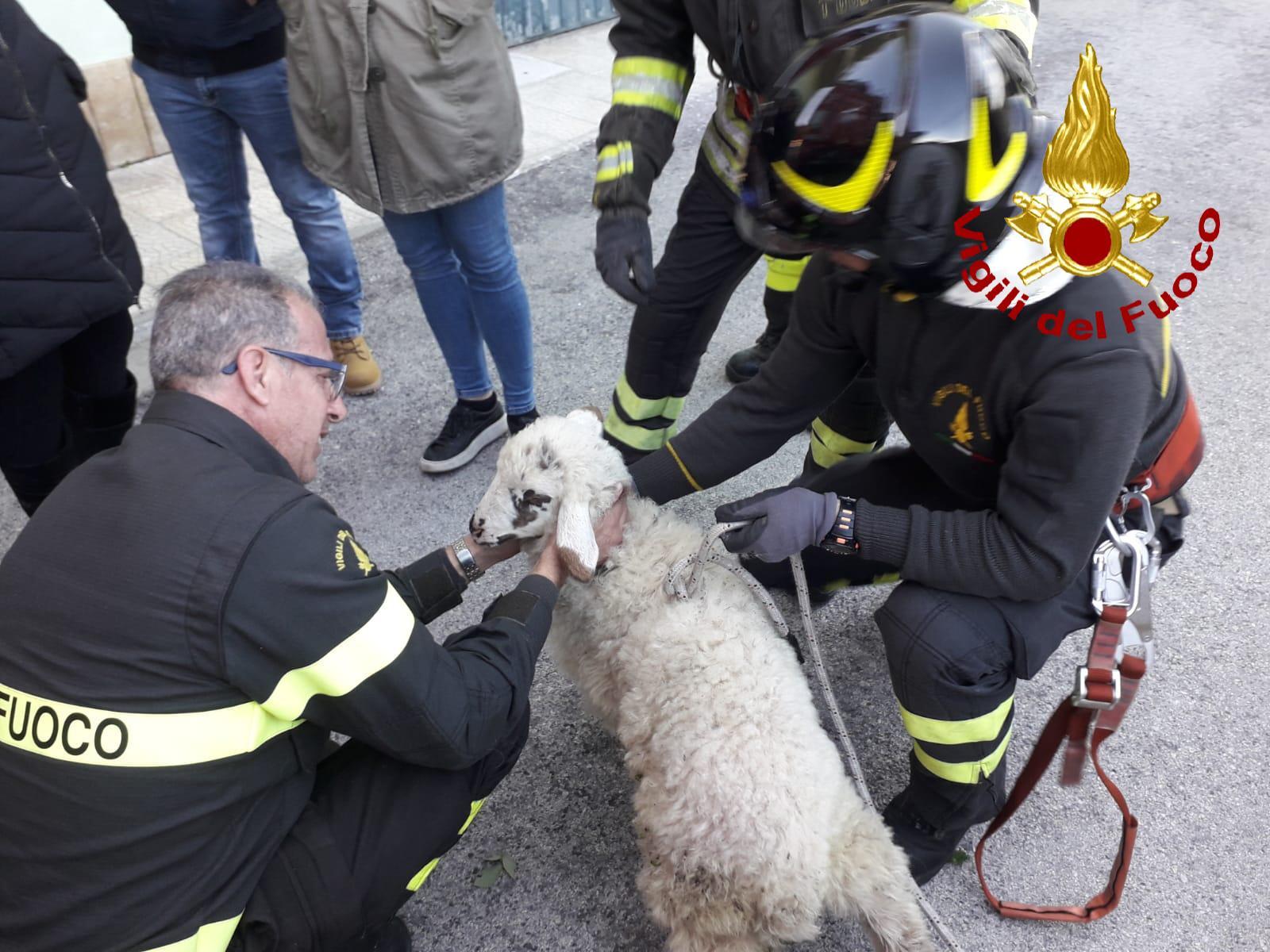 Melilli, i vigili del fuoco salvano una pecora fra i rovi