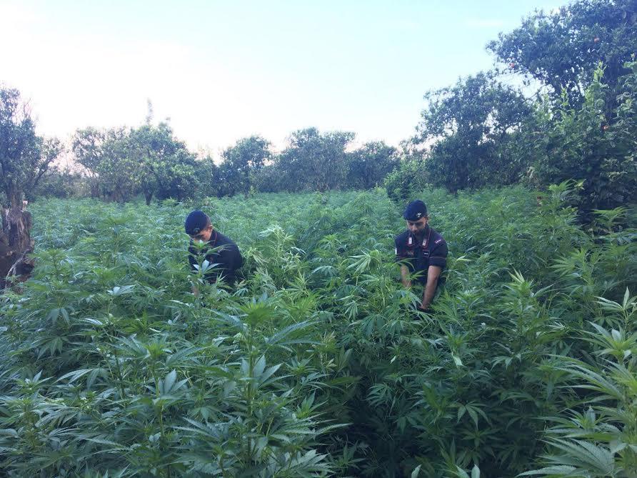 Gioia Tauro, individuata e distrutta dai carabinieri una piantagione di marijuana