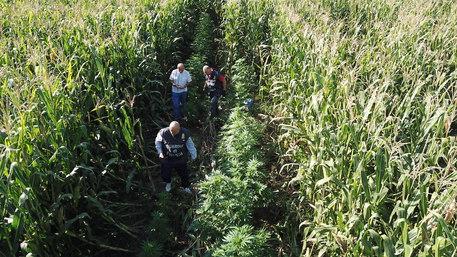 Droga, una piantagione di marijuana scoperta nel Casertano