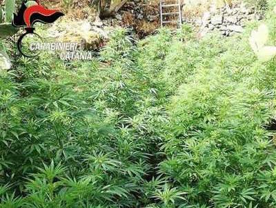 Bronte, scoperta una maxi piantagione di marijuana: sequestrata