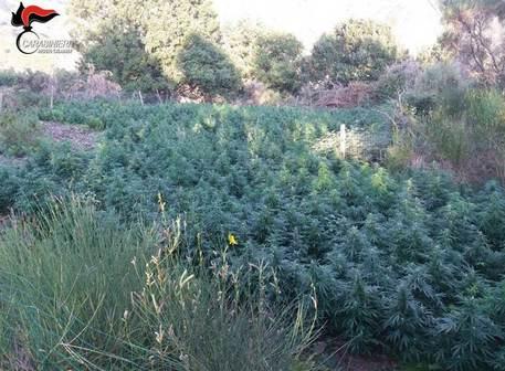 Oltre 5 mila piante di marijuana scoperte dai carabinieri nel Reggino