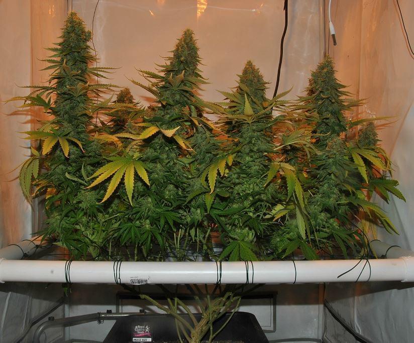 """In casa con una """"serra"""" di marijuana, arrestato a Castelvetrano"""
