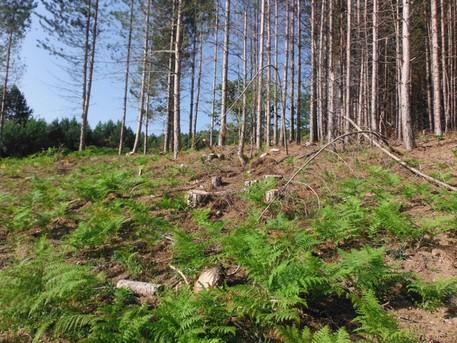 Ambiente, abbattuti 464 pini nel Crotonese: due denunce