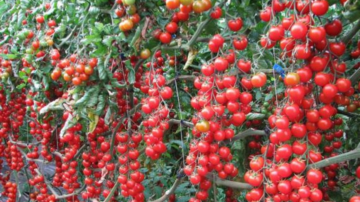 Festa del pomodorino di Pachino, il covid la ferma: si farà on line
