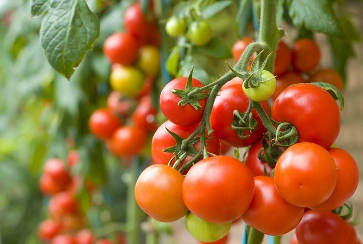 Produzione di pomodoro in serra in Sicilia, è record con 2 milioni di raccolto
