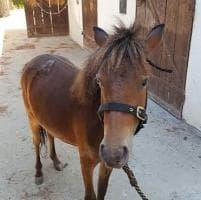 Palermo,  trovato in via Stradale Bellolampo pony abbandonato