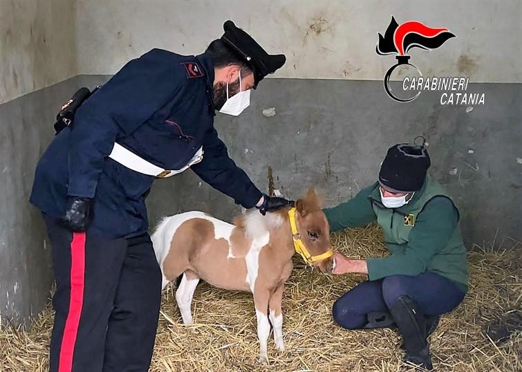 Pony in una stalla abusiva a Catania: una denuncia