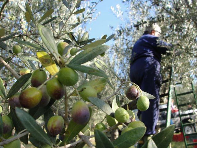 Olio, Sicilia regina del bio: pericolo da prodotti stranieri