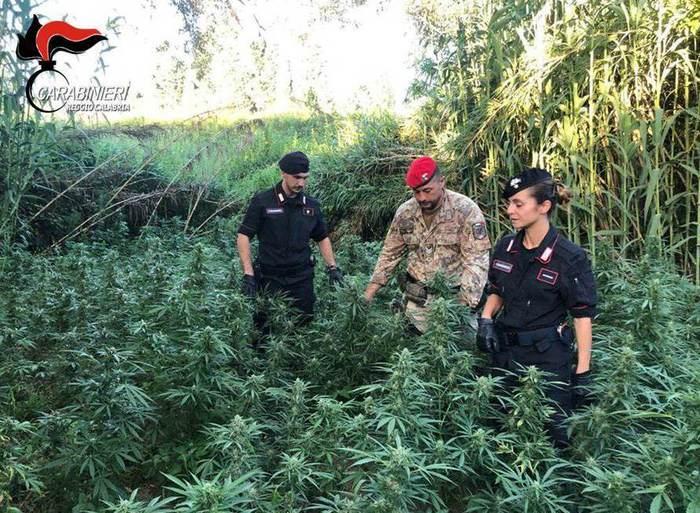 Scoperta una piantagione di canapa indiana, due arresti nel Reggino