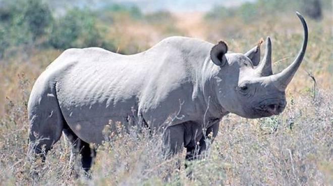 Kenya: morto l'ultimo rinoceronte bianco settentrionale maschio