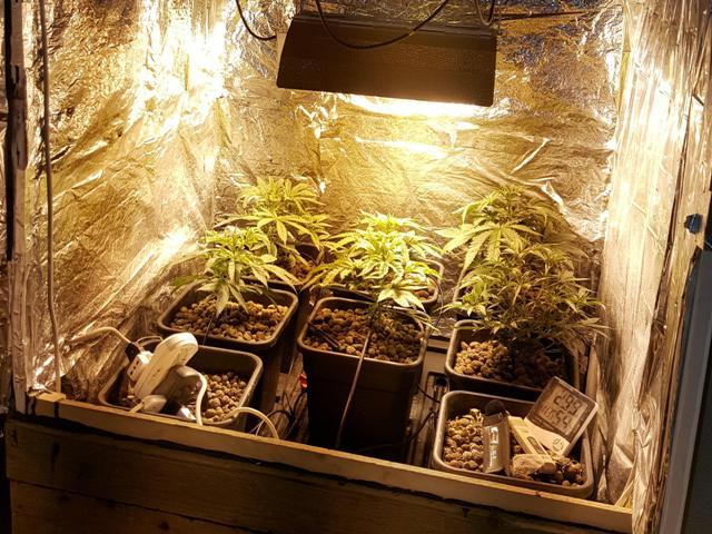 Nasconde in casa una serra di marijuana, arrestato a Mazara