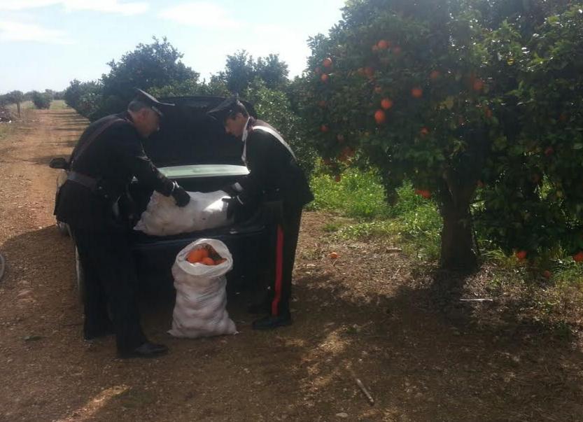 Floridia, rubano 700 chili di arance da un'azienda agricola: tre arresti