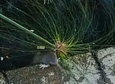 Siracusa, Fonte Aretusa: non solo turisti ma anche topi