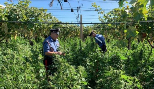 Scoperta una piantagione di marijuana a Riesi: 26enne arrestato