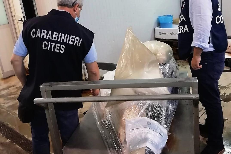 Catania, sequestrato in una cella frigorifero al mercato uno squalo da 700 chili