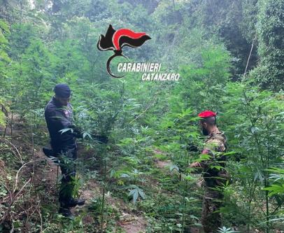 Scoperta a Tiriolo dai Cacciatori di Calabria 150 piante di marijuana