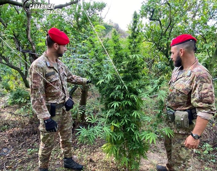 Piantagione di marijuana fra gli agrumi, due denunciati a Carlentini