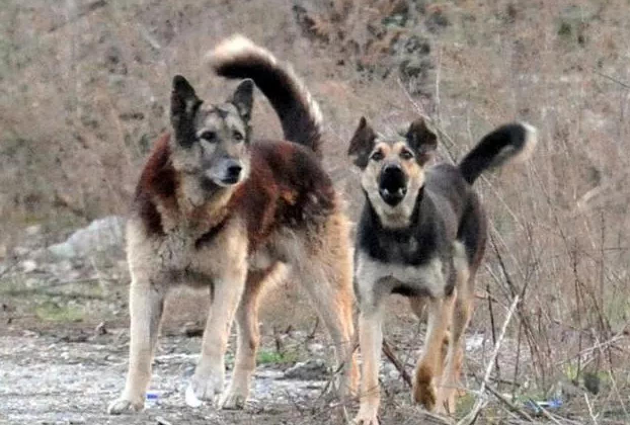 Ventenne  di Soverato uccisa da branco di cani randagi in Calabria