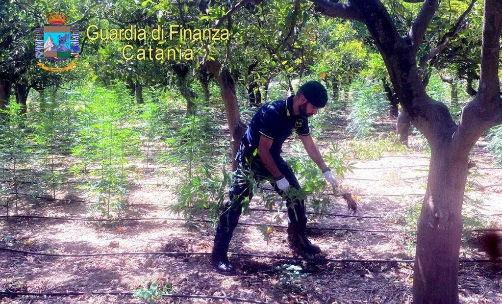 Misterbianco, sequestrati 740 alberi di marijuana: un arresto