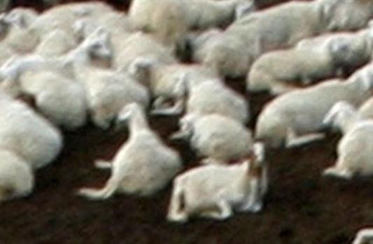 Pecore al pascolo su terreno confiscato alla mafia: 2 denunciati a Naro