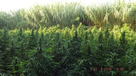 Sequestrate a Reggio Calabria settemila piante di marijuana