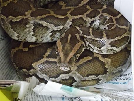 Trovato un serpente esotico vicino la ferrovia di Pizzo