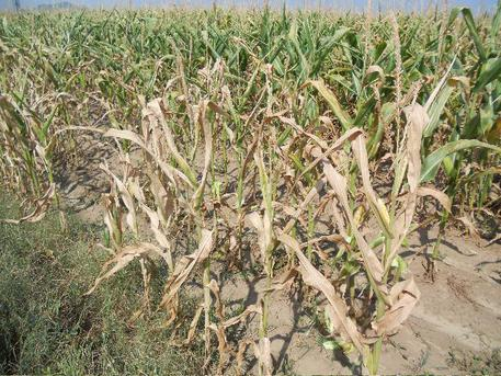 """Coldiretti: """"Sos siccità, a rischio anche le mozzarelle di Bufala"""""""