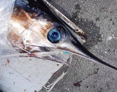 Bagheria, pesca illegale: sequestrati 4 esemplari di pesce spada