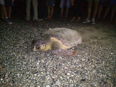 Punta Braccetto, tartaruga depone le uova sulla spiaggia di Montalbano