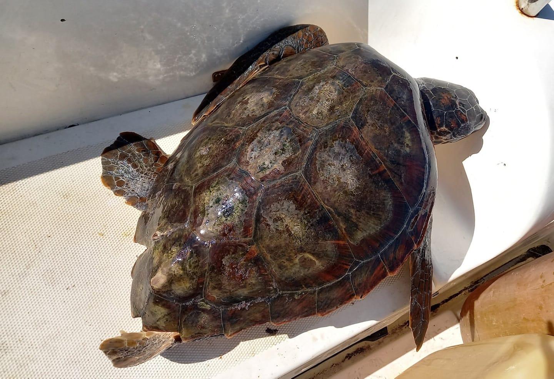 Caretta caretta trovata morta a Stromboli: ingoia un amo