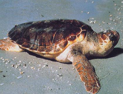 La tartaruga marina torna a deporre a Lampedusa