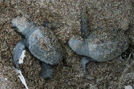 Palinuro meta delle tartarughe marine: tracce sulla spiaggia del Cilento