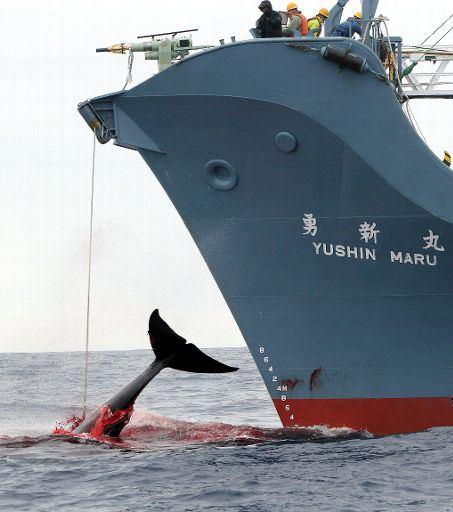 Tokyo vuole riprendere la caccia commerciale alla balena